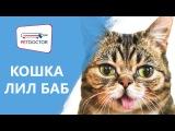 Кошка по кличке Лил Баб. Мнение ветеринарного врача PETDOCTOR