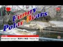 Смешные Белые Медведи. Московский Зоопарк 有趣的北极熊。 莫斯科动物园 Funny Polar Bears. Moscow Zoo [SV Life]