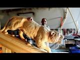 Браво мастеру. Тигр из дерева
