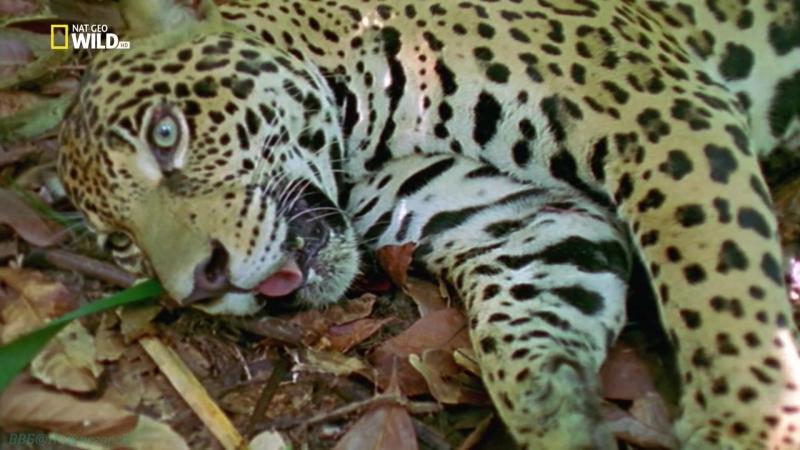«Дикие животные 24 часа (5). Бразилия: Опасный рай» (Документальный, природа, 2015)