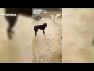 Собака защитила хозяина от нападения злобного гуся
