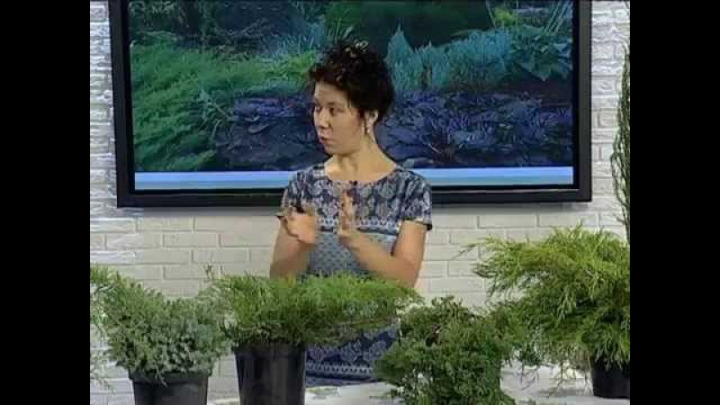 Можжевельник: секреты выращивания и особенности ухода