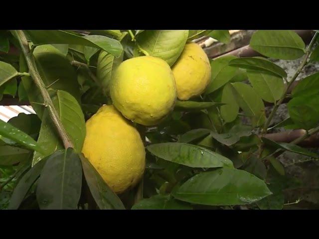 Удачная среда - выращиваем лимоны (Бийское телевидение)