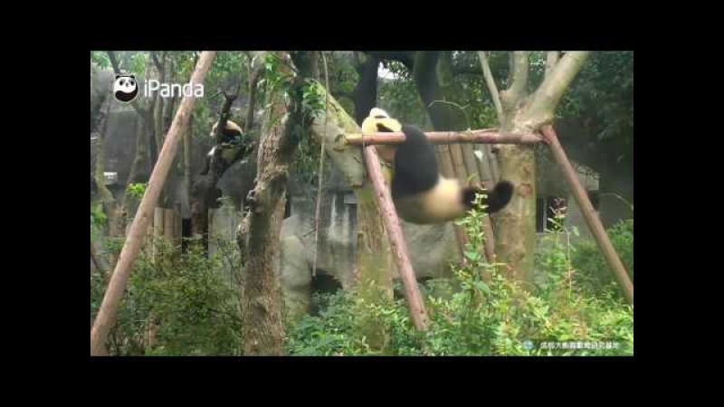 Question how many dips does panda cub Yayun finish on the parallel bars