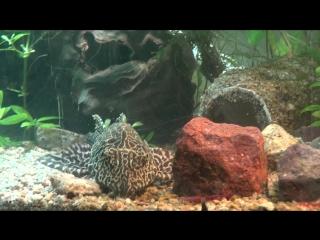 мой аквариум 200 литров, сом Птеригоплихт Парчовый