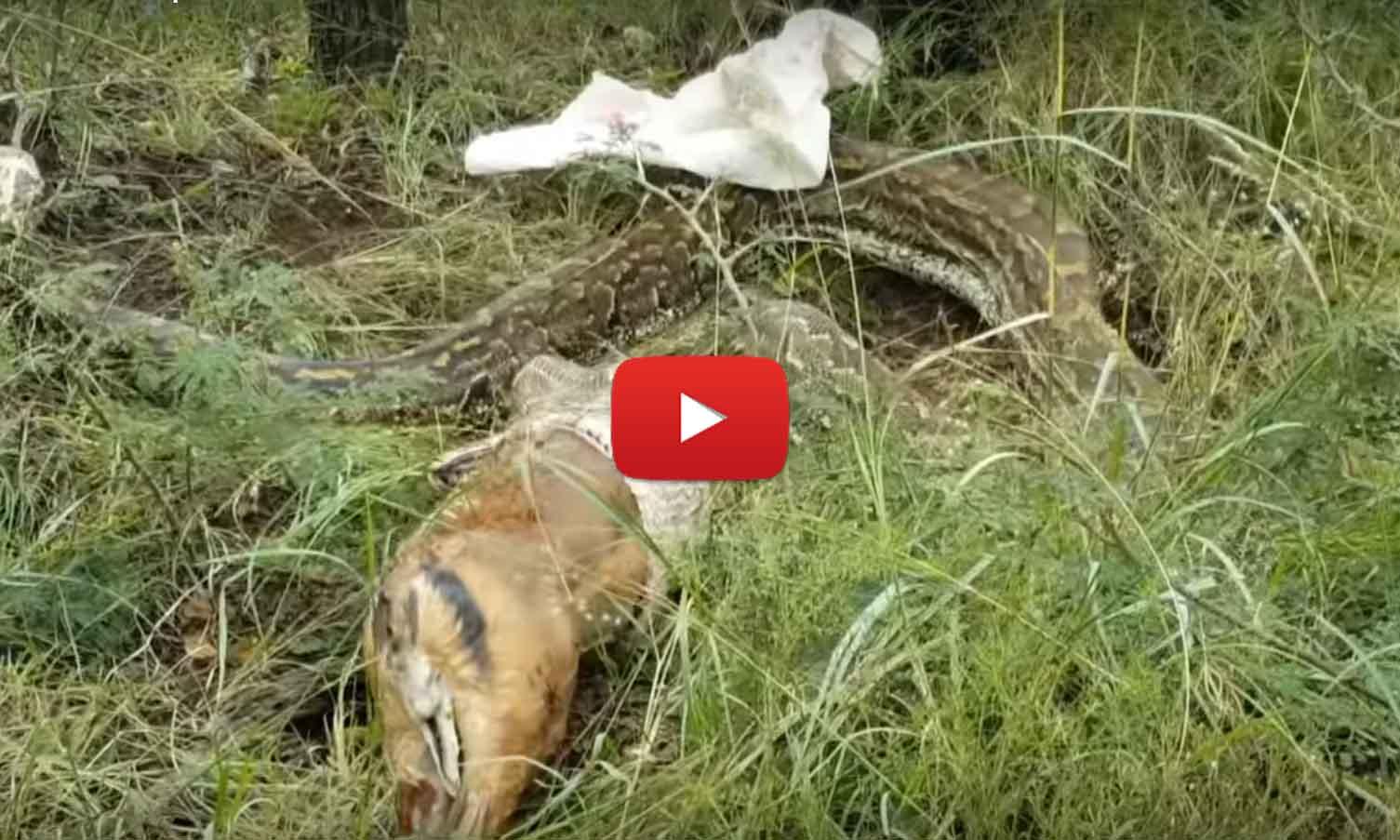 Четырехметровый питон отрыгивает целую антилопу (видео)