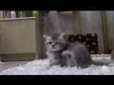 Британский котята. Смешное видео про семейство британских котиков и котят