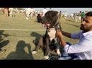 Известный пакистанский боец булли кутта Масту