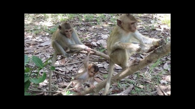 Cute little baby monkey of Pigtail monkey playing and poor baby monkey eating lotus