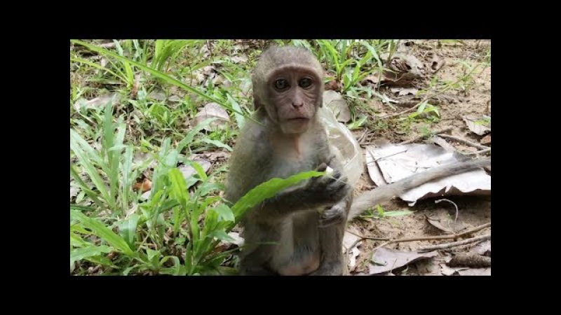 Poor baby monkey - Pigtail monkey eating banana - Babies monkey playing
