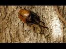 Жук-геркулес | Dynastes hercules | Giant rhino beetle