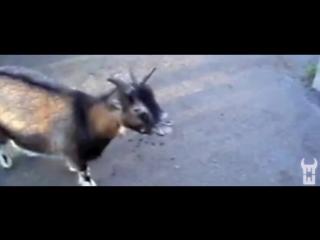 Maitre Goats (Gims) - Zombie (Chèvre edition)