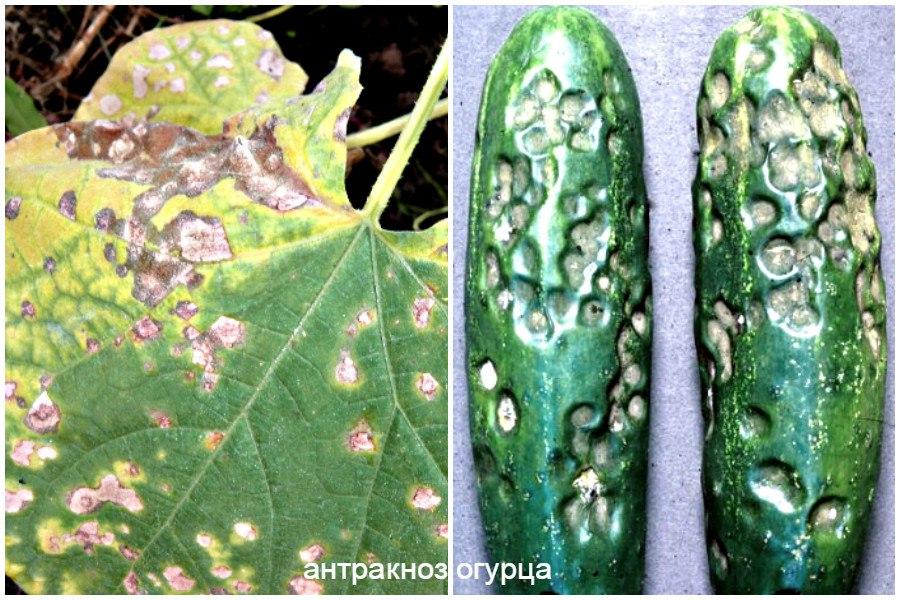 Основные заболевания овощей-антракноз огурца