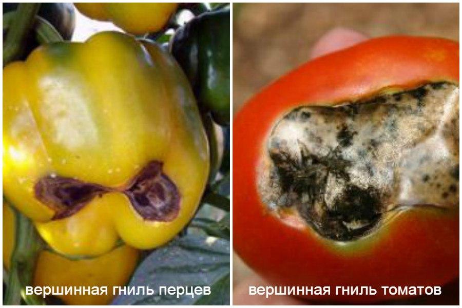 Основные заболевания овощей-вершинная гниль