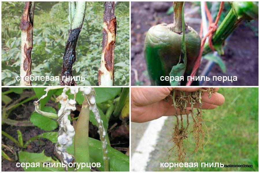 Основные заболевания овощей-гнили
