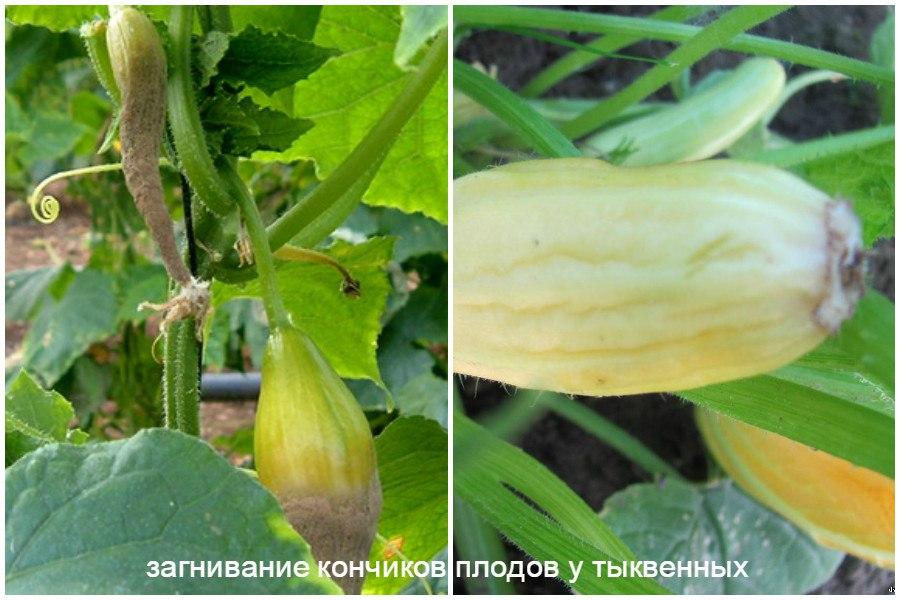 Основные заболевания овощей-загнивание кончиков плодов