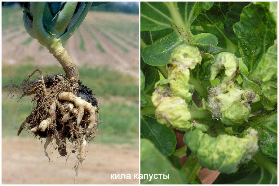 Основные заболевания овощей-кила капусты