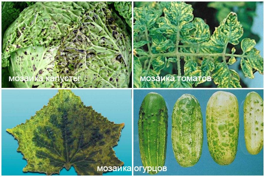 Основные заболевания овощей-мозаика
