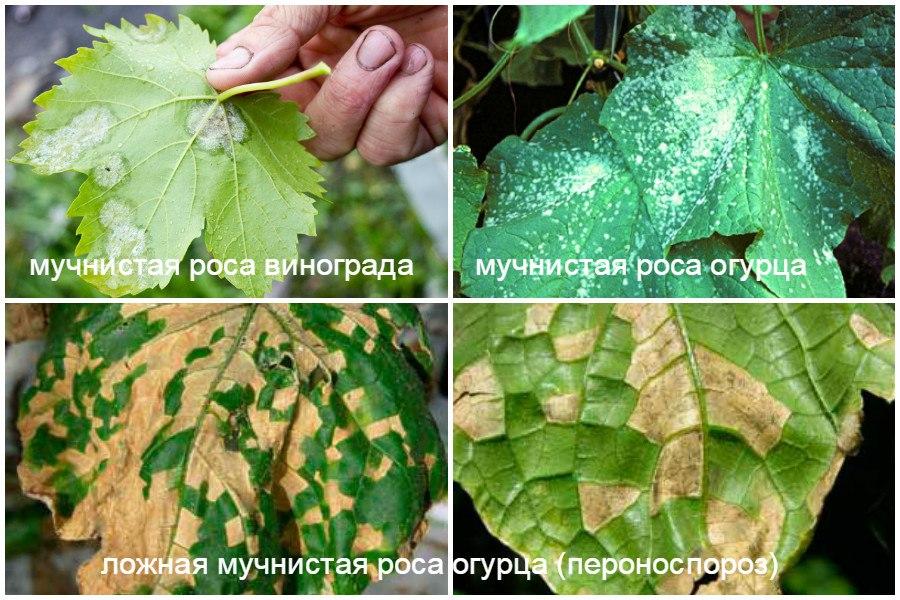 Основные заболевания овощей-мучнистая и ложная мучнистая роса