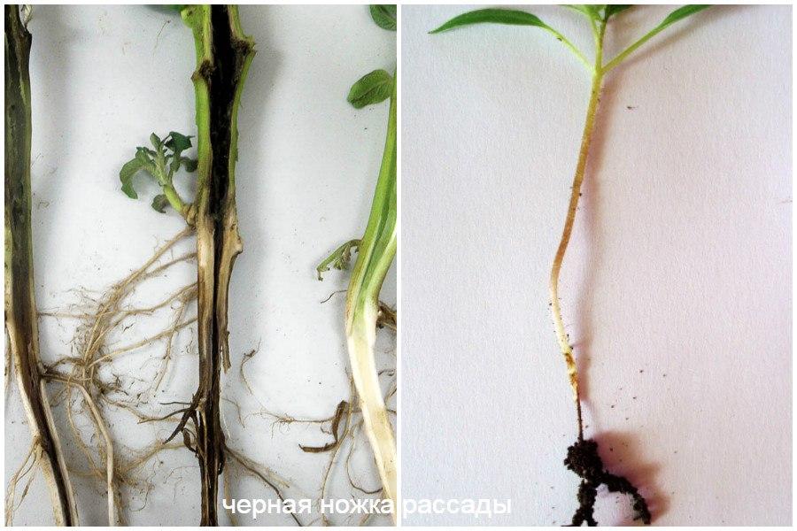 Основные заболевания овощей-чёрная ножка