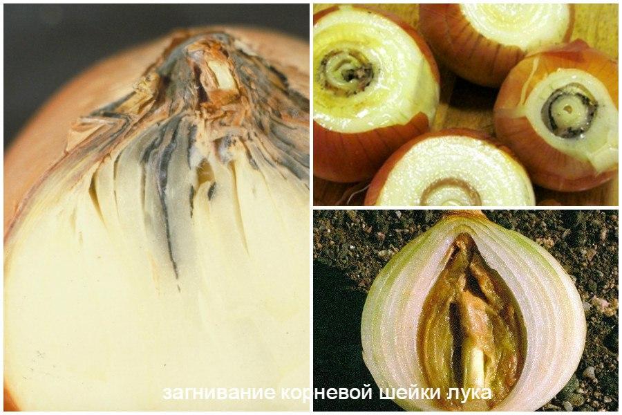 Основные заболевания овощей-загниваниекорневойшейкилука