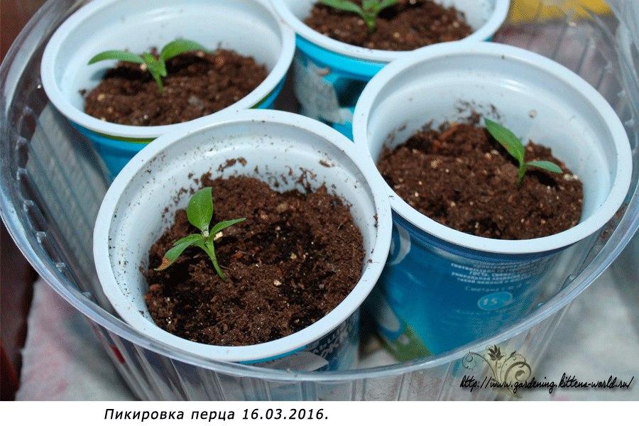 Посадка семян перца в кипяток на рассаду