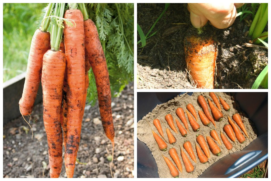 Морковь горчит. Условия хранения моркови на зиму