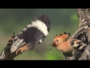 HOOPOE Upupa epops Bird Feeding Their Young in SLOW MOTION