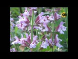 Сад и огород-99 Шалфей
