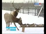 Вести-Хабаровск. Разведение маралов в Ванинском районе