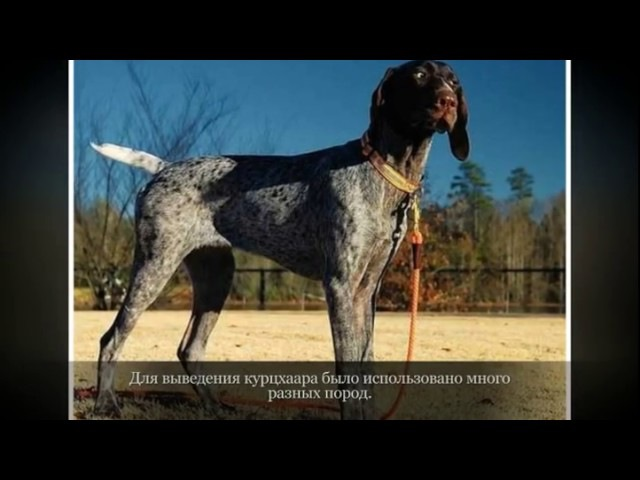 Курцхаар Крупные породы собак