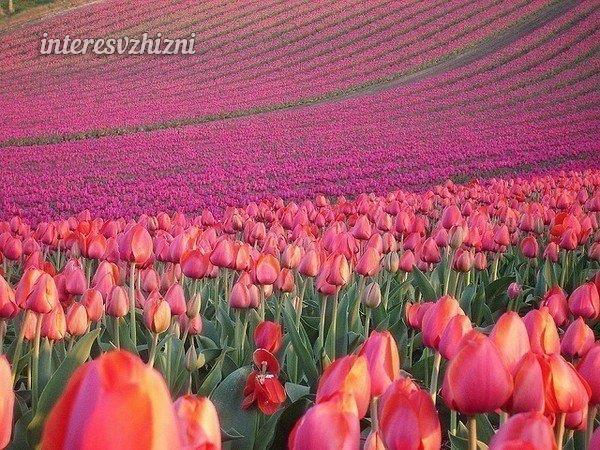 Поле тюльпанов, Голландия