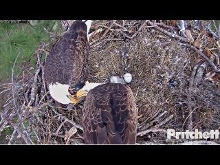 SWFL Eagles ~ Pond Visit; M15 lovingly Feeds Harriet 1.1.17