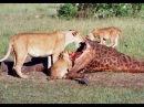 DOCUMENTAL, LEONES | DEPREDADORES DE LA SABANA AFRICANA | NAT GEO WILD