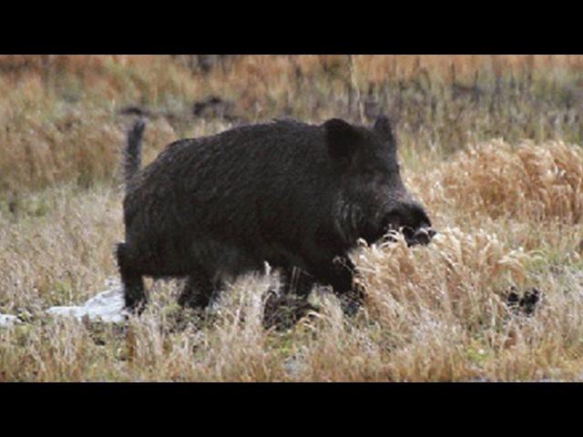 Охота на кабана от гончими во HD.