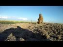 Каменка плясунья Oenanthe isabellina и сурок тарбаган Marmota sibirica