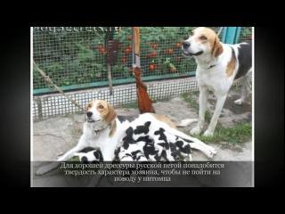 Русская пегая гончая Крупные породы собак