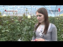 Как в Тульской области выращивают голландские розы
