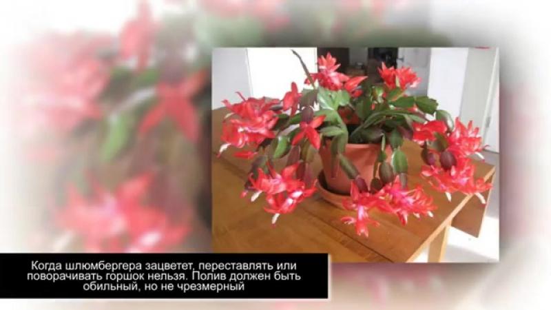 Почему не цветет ДЕКАБРИСТ Как заставить РОЖДЕСТВЕННИК цвести на Рождество