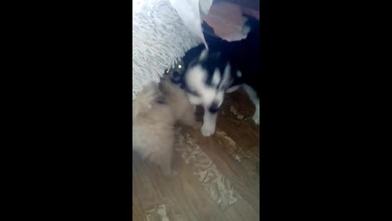 бой бойцовых собак