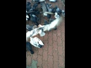 бессмертные голуби