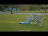 tiger ride  #coub, #коуб