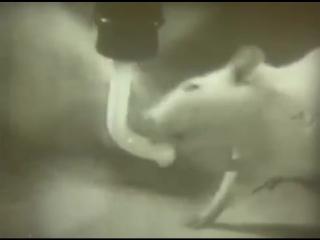 Алкоголизм. Последствия на подопытный крысах