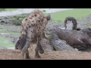 Маленький крокодил vs гиены (Small Crocodile vs Hyenas)