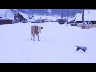 Бородатый Лу хочет подружиться с Суровой Уймонской Коровой