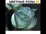 Красим розы