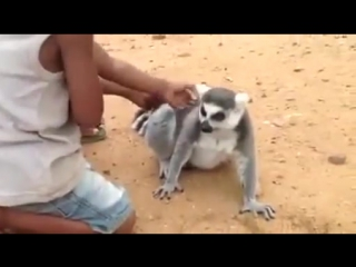 Наглый лемур