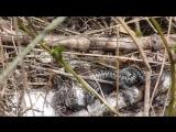 Змеи. Третья видеосъёмка. 21 мая 2017 года.