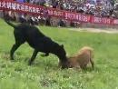 Питбули 18 собачьи бои. прямиком с китайского чемпионата к нам в группу