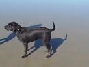 Собака брызгает водой из задницы во время лая